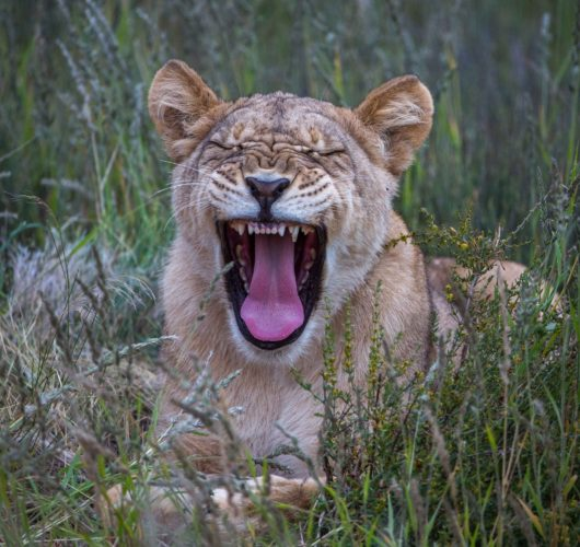 Big 5 Safari, Lion South Africa, South Africa & Mozambique,