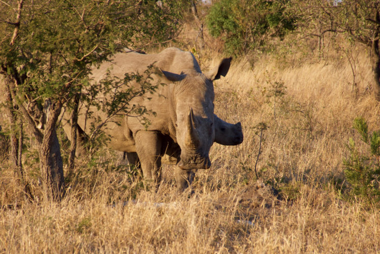 South Africa Safaris Rhino South Africa Affordable South Africa Safari Holidays