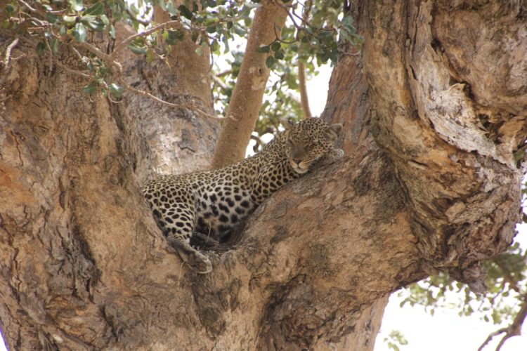 Leopard seen on Big 5 Safari Holiday