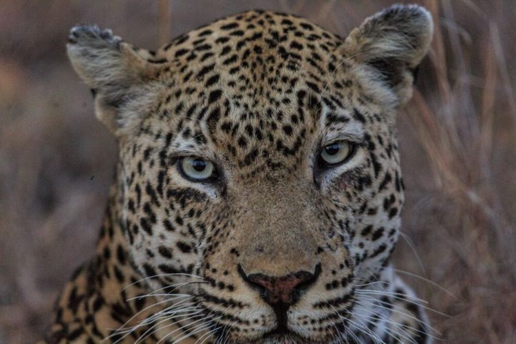 Leopard upclose, big five safaris, wildlife safari