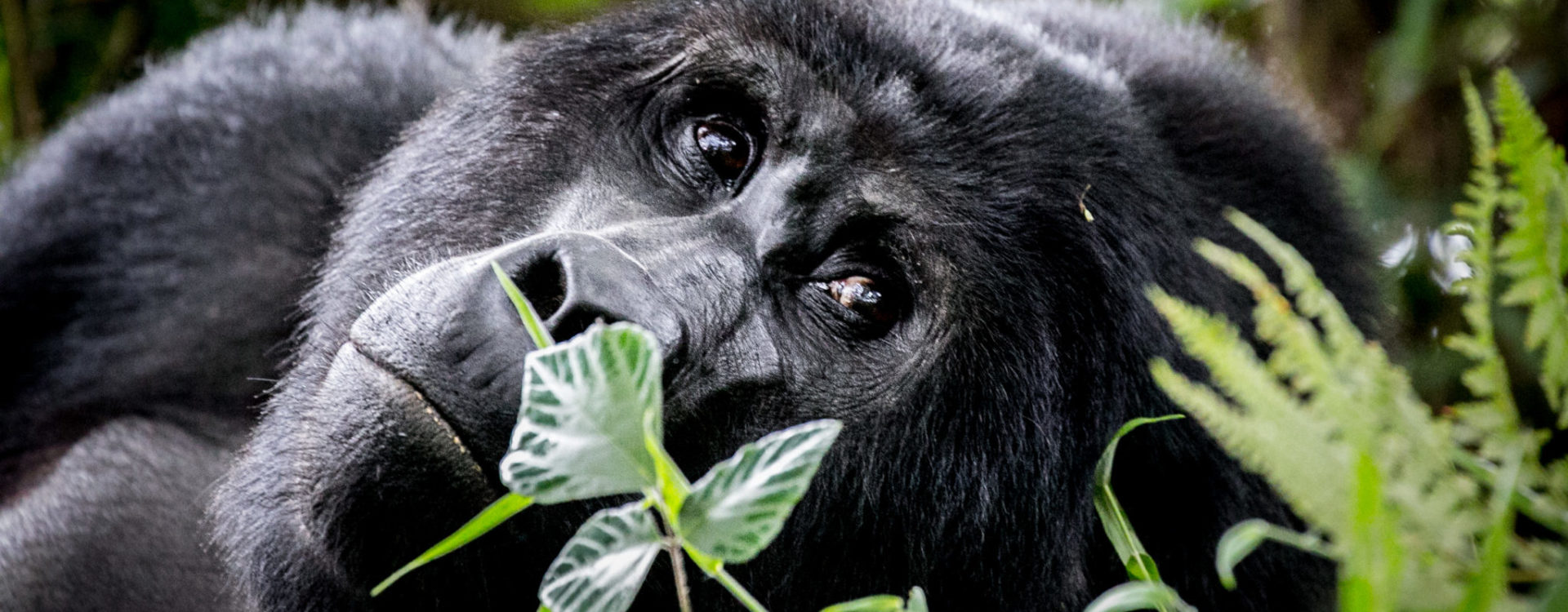 uganda Safari, Gorilla trekking in Uganda, uganda safari holidays , african wildlife safari tours, eco tourism, safari holiday packages from Australia, african wildlife safari tours, eco-tourism, sustainable tourism, conservation, gorilla trekking